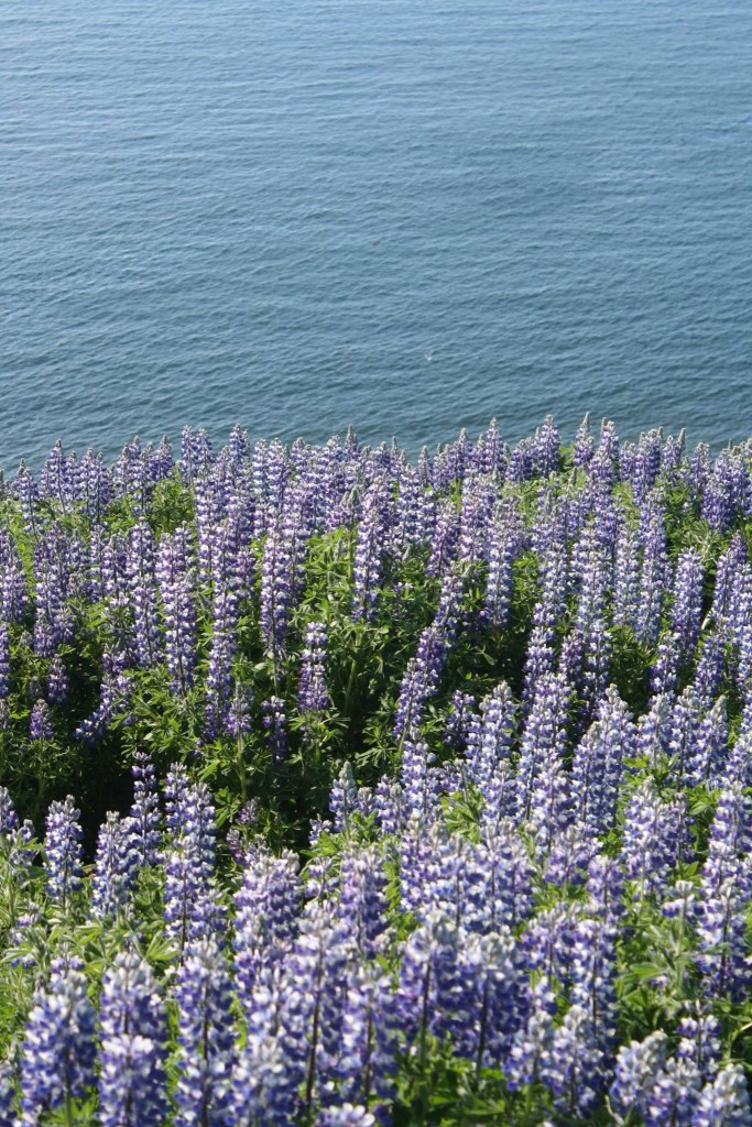 Alaskan Lupine grows everywhere.