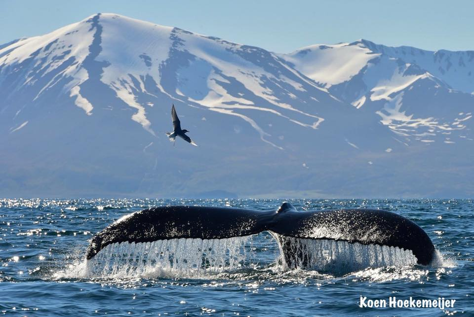 One of the unbelievable whale shots by our new friend Koen Hoekemeijer, who we first met in Husavik, Iceland.