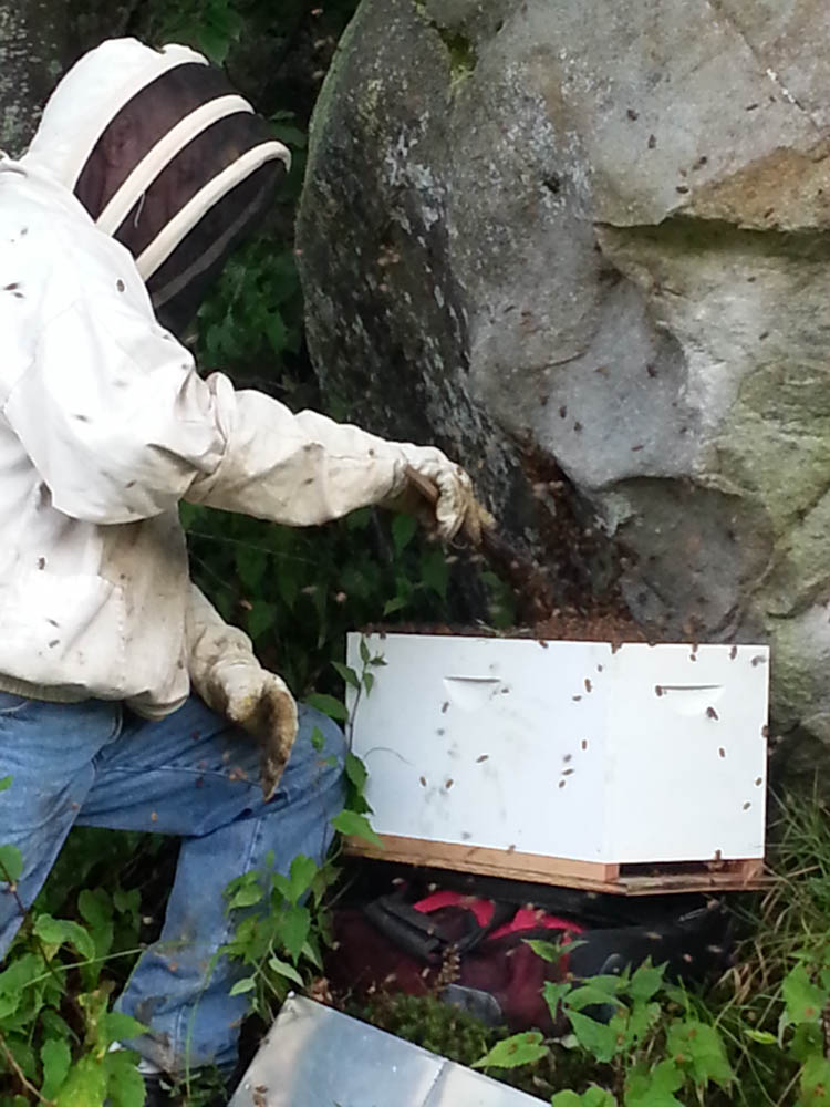 Tim catching a swarm of honey bees.